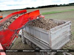 Урожай сахарной свеклы в Беларуси ожидается на 200 тыс. т больше прошлогоднего