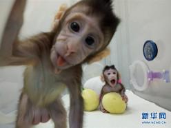 Китайские ученые впервые в мире клонировали обезьян