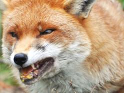 В Слуцком районе участковый застрелил бешеную лису