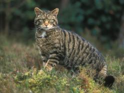 Спустя 90 лет в Беларусь возвращается лесной кот