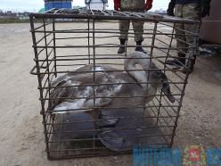 В Витебске толстый лебедь не смог улететь на юг и чуть не погиб