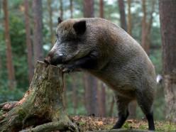 «Слуцкий лесхоз» отстреливает диких кабанов с целью профилактики АЧС