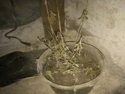 Рассвету в Клецком районе не фартануло: односельчане попались на выращивании «травки»