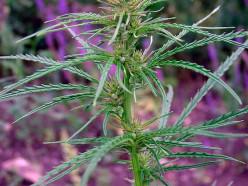 В ходе спецпрограммы «Мак» выявлено 44 факта произрастания наркосодержащих растений