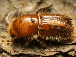 За год поражённая жуком-короедом площадь лесов увеличилась в 2,5 раза