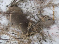 В Копыльском районе браконьеры незаконно убили три косули