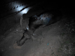 На трассе Р23 машина сбила лося, два пассажира погибли