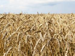 В Слуцком районе намолотили более ста тысяч тонн зерна