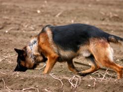 По горячим следам. В Копыле розыскная собака вывела на грабителя