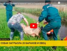 Одичавшие псы убивают и калечат овец в Слуцком районе. Сюжет ОНТ