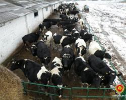 В Копыльском районе задержана группа, занимавшаяся кражами коров
