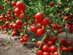 Владелец «рабской» плантации помидоров: к людям всегда стараюсь относиться по-человечески