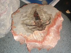 Солигорские шахтеры обнаружили останки ракоскорпиона, которым 350 млн лет