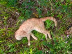 Браконьер продолжает расставлять петли в районе «Геологоразведки» - погибли два домашних кота