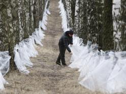 Слуцкий лесхоз начал заготовку берёзового сока