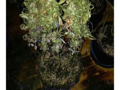 Солигорская милиция раскрыла деятельность подпольных лабораторий по выращиванию конопли