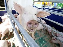 Новый свинокомплекс готовится к запуску