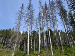 Слуцкому лесхозу удалось замедлить усыхание лесов
