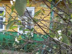 Фотофакт: в Слуцке зацвела вишня