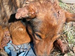Под Солигорском живьём закопали собаку. Она провела в земле 5 дней, но выжила