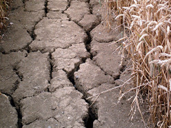 Беларуси угрожает потеря зерна из-за засухи