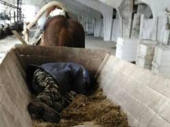 На ферме в Слуцком районе милиция застала двух пьяных животноводов, спящих в телеге